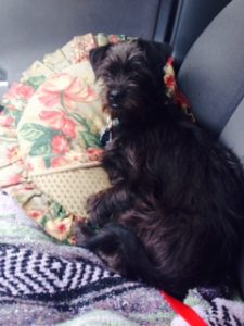 Traveling in style, my Affenpinscher mix puppy was about 7 months old on this, his Gotcha Day