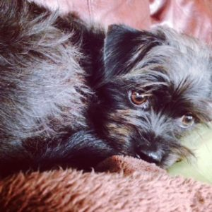 Sweet little Affenpinscher pup