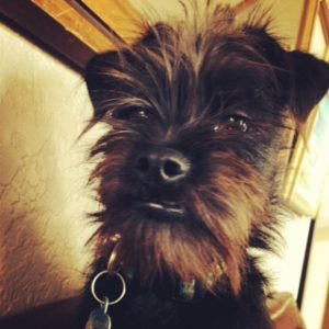 Affenpinscher monkey dog face