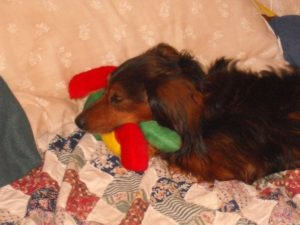 Chewing Dachshund