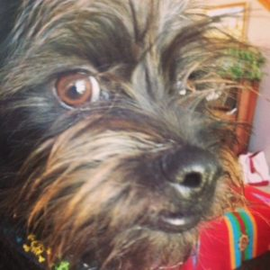 Cute Affenpinscher close up