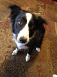 Begging Border Collie