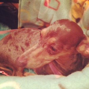 Gretel the Dachshund