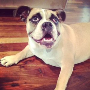 English Bulldog, smiling