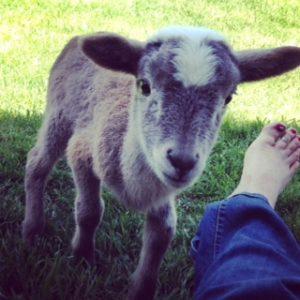 Bob the lamb
