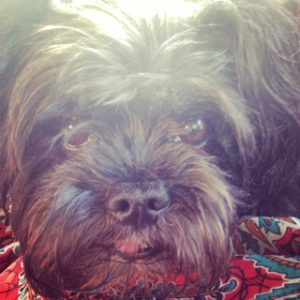 Senior Affenpinscher face