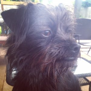 Regal Affenpinscher mutt
