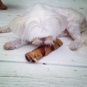 Maltese enjoying an all natural Rib Roller from Jones Natural Chews