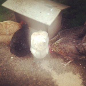 Hens feeding