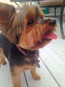 Cute Yorkie begs for an all natural Rib Roller from Jones Natural Chews