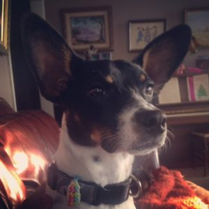 Max the Rat Terrier