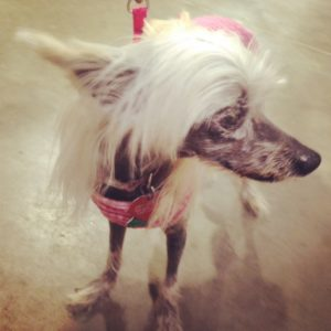 Sweet Chinese Crested