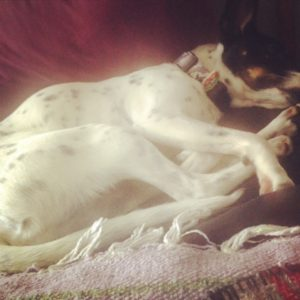Sleeping Rat Terrier