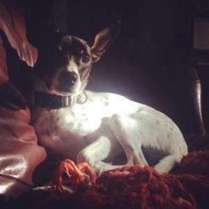 Mysterious Rat Terrier