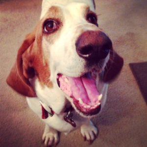 Smiling Basset/Beagle
