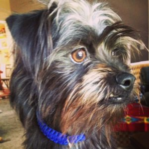 Affenpinscher deep in thought