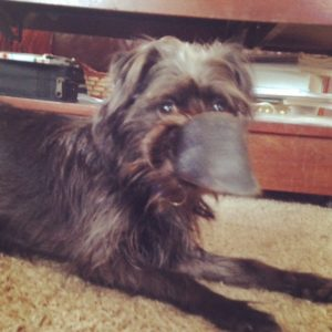Affenpinscher with his favorite chew