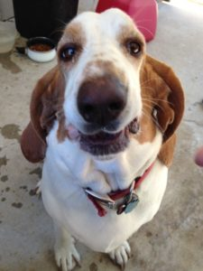 Elvis, Basset extraordinaire, Can't Stop the Feeling www.dogtreatweb.com