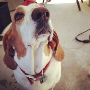 Imploring Basset - treats, please?