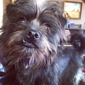 Affenpinscher doesn't shed, but he does  need to be hand stripped periodically