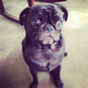 Sweet Pug face