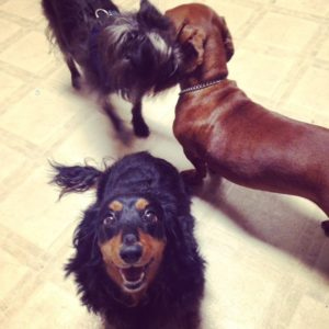 Beautiful Dachshunds