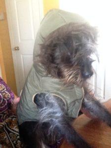 Affenpinscher mix in a winter coat