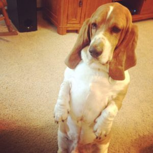 Bentley the Basset Hound