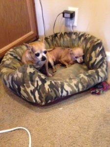Cajun Chihuahuas
