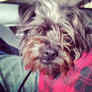 Affenpinscher in a cute wool jacket