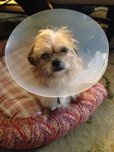 Dog in a cone recovers