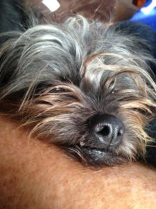 Tired Affenpinscher