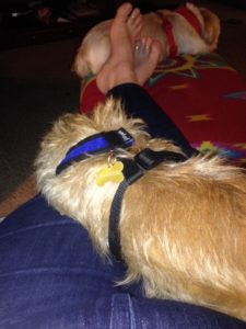 Velcro dog claims a lap