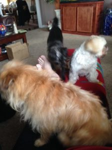 Three small dogs, fighting for lap space