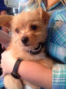 Tiny Terrier