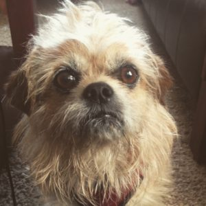 Brussels Griffon - ugly or cute?