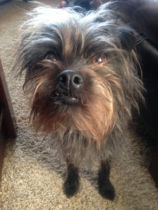 Affenpinscher - ugly or cute? He still likes his beef ligament!