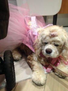 Coco the Cocker Spaniel bridesmaid