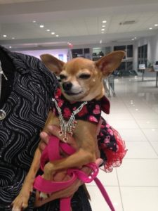 Chihuahua in evening wear