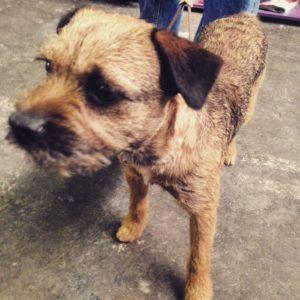 Westminster Border Terrier
