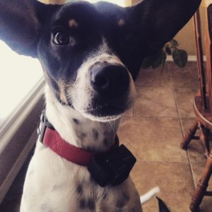 Max the Rat Terrier mix