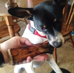 Rat Terrier checks out the Shank Bone