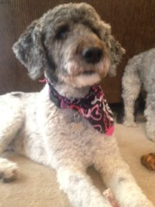 The perfect rescue Poodle