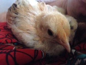 Jemima chick