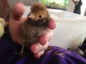 All brow crested chick