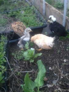 Spring chicks cavorting in the herb bed