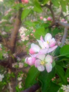 Red Delicious apple blossoms are hopeful