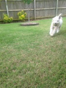 Maltipoo plays fetch
