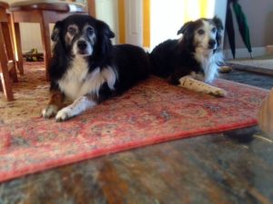 Patient senior Aussie mix dogs