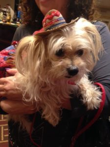 Maltese Yorkie in Nashville